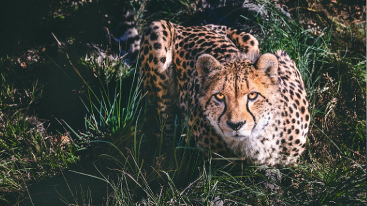 Cheetah, the Worlds Fastest Animal on Land
